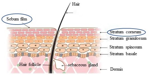The skin barrier structure includes sebum film and stratum corneum. The sebum film covers the surface of the epidermis, and the stratum corneum is the outermost layer of the epidermis.