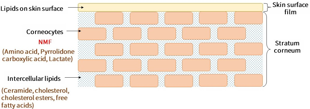 The brick wall structure of the stratum corneum is composed of keratinocytes and intercellular lipids. The orange squares represent keratinocytes and the blue represents intercellular lipids. Keratinocytes contain natural moisturizing factors, which are composed of amino acids, pyrrolidone carboxylic acid and lactate. Intercellular lipids are composed of ceramide, cholesterol, cholesterol esters, and free fatty acids.