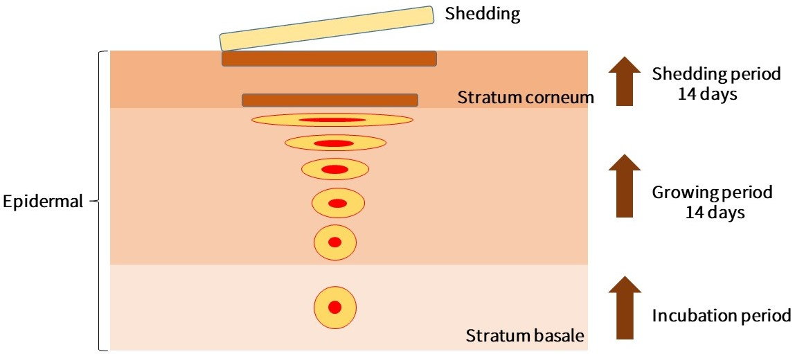 The differentiation process of cells. Newborn cells are produced from the stratum basale and gradually migrate upward to the stratum corneum. The migration process takes about 14 days. Keratinocytes and intercellular lipids form the stratum corneum, which is finally shed from the skin. This process takes about 14 days.