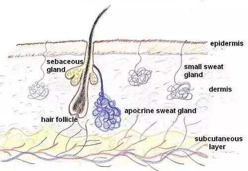 Dermal layer structure. The dermis contains sebaceous glands, hair follicles, apocrine glands and eccrine glands. The upper part of the dermis is connected to the epidermis, and the lower part is connected to the subcutaneous tissue layer. The sebaceous glands communicate with the hair follicle channels, and the sebum produced by the sebaceous glands flows to the skin surface through the hair follicle channels.
