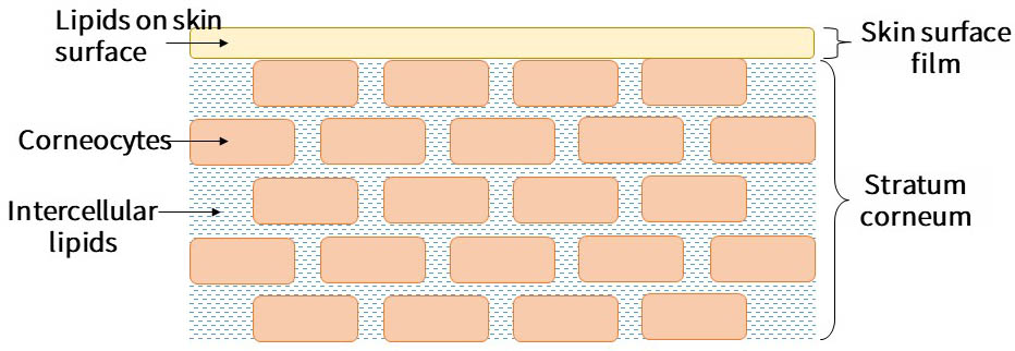 The structure of the stratum corneum: its surface is covered with a layer of sebum and its interior consists of a brick wall structure of keratinocytes, which are filled with intercellular lipids.