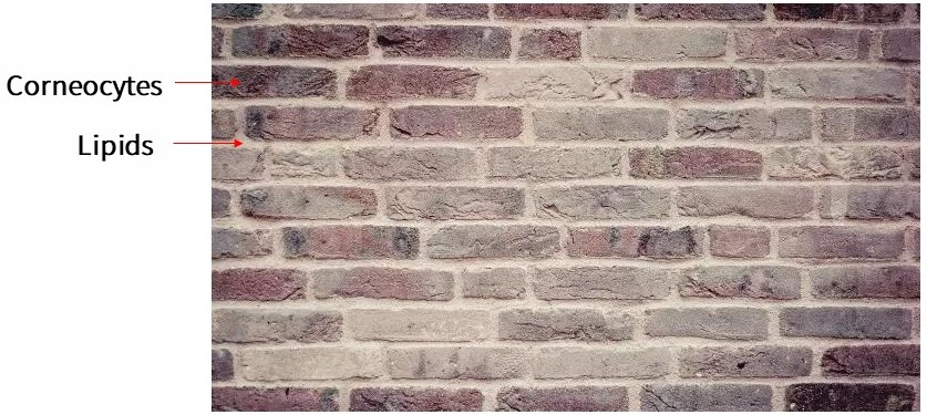 The cuticle is a brick wall structure, where the bricks represent keratinocytes and the cement represents intercellular lipids.