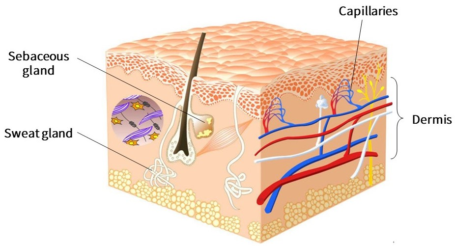The structure of the dermis. The dermis is the second layer of the skin structure. Sweat glands, sebaceous glands, and capillaries are located in the dermis.