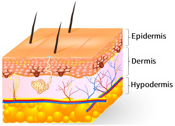 The skin structure consists of subcutaneous tissue, epidermis and dermis from the inside out.
