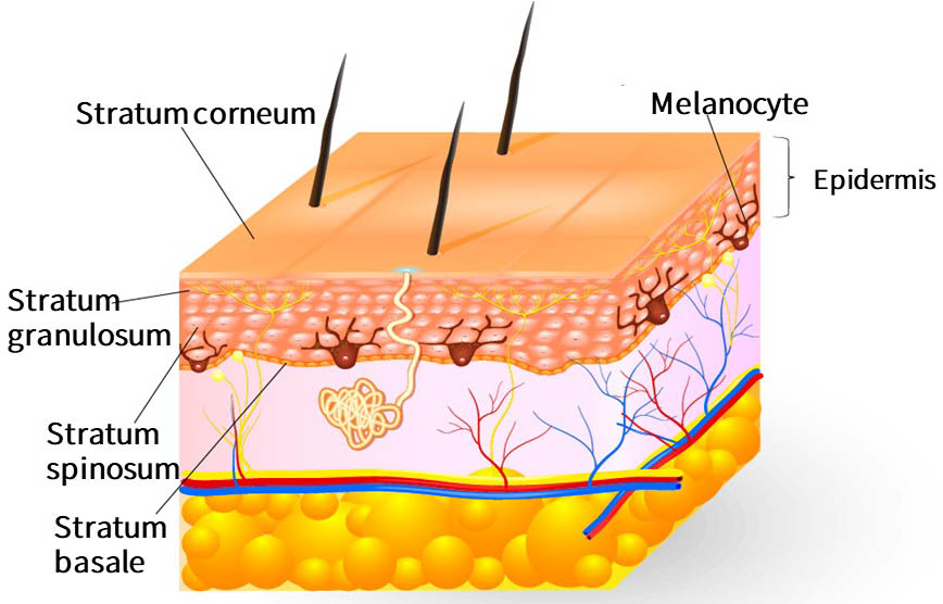 The epidermis is the outermost layer of skin tissue and consists of a basal layer, a spiny layer, a granular layer, and a stratum corneum. The melanocytes are also located in the epidermis.
