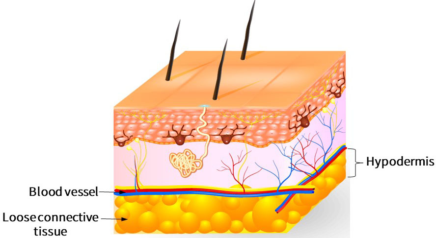 The subcutaneous tissue is located in the lowermost layer of the skin structure and is composed of loose connective tissue and fat.