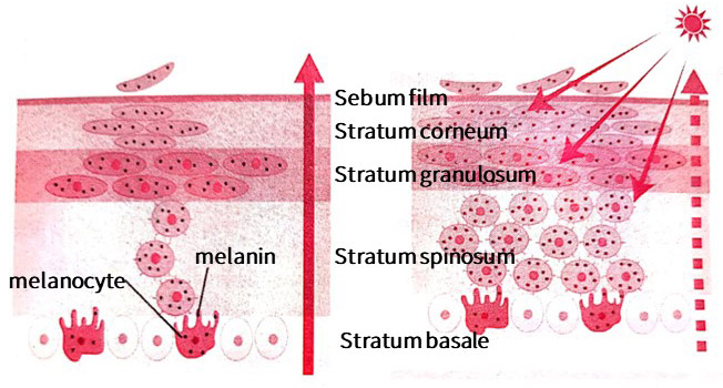 The melanocytes in the skin produce melanin to protect against UV damage. Melanin is produced in the basal layer and is progressively distributed to the acral, granular and stratum corneum to protect the cells in the epidermis.
