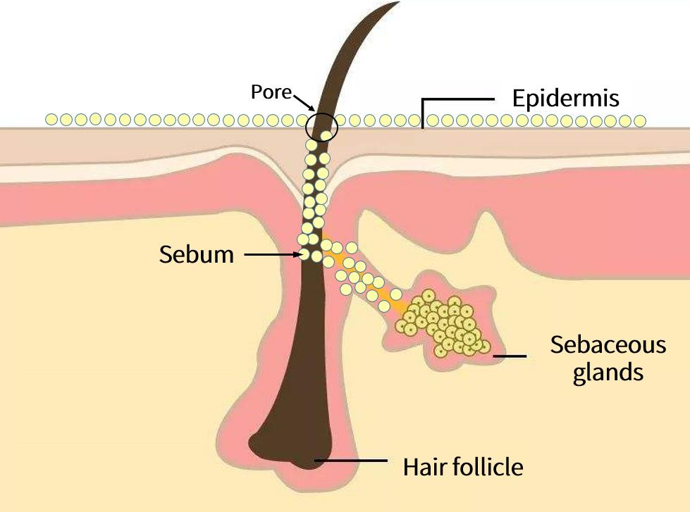 The sebaceous glands are located in the hair follicles. The sebaceous glands secrete sebum slowly and gradually flow to the surface of the skin to form a sebum-film