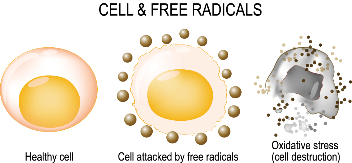 Healthy cells gradually die under the attack of free radicals