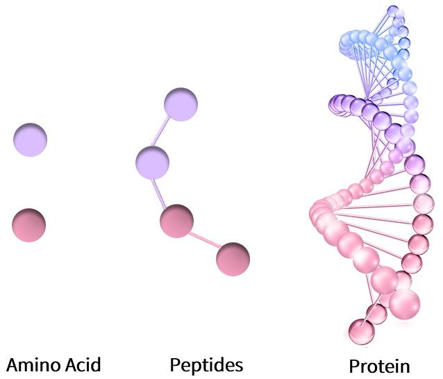 Amino acids are single molecules, polypeptides are composed of multiple amino acids, and proteins are composed of multiple polypeptides.