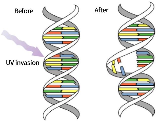 The double helix structure of DNA. Under UV damage, the double helix structure breaks.