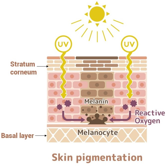 When the skin is exposed to the sun, it will oxidize and produce melanin. Melanocytes accelerate the production of melanin, which moves from the basal layer to the stratum corneum.