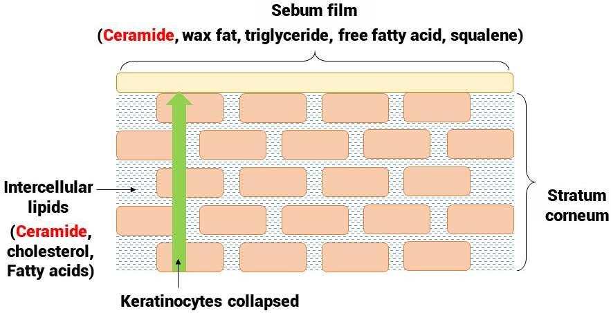 Oilyskinbeauty Sebaceous film contains ceramide