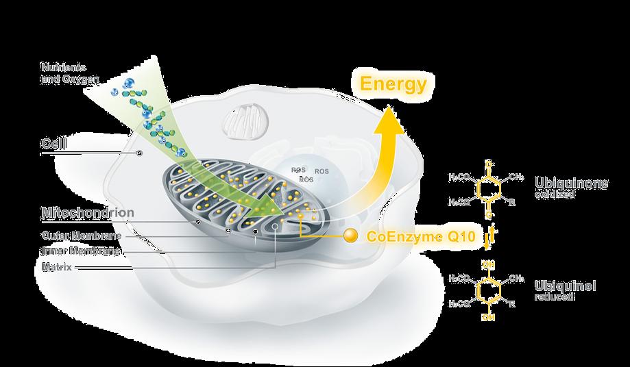 Oilyskinbeauty Coenzyme Q10 helps mitochondria produce energy