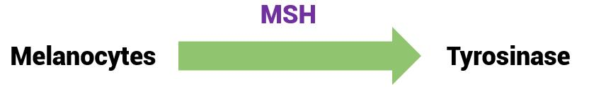 Melanocytes activate tyrosinase under the stimulation of MSH